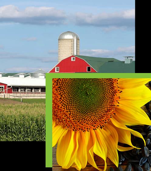 Преимущества покупки семян подсолнечника в интернет-магазине Steigen