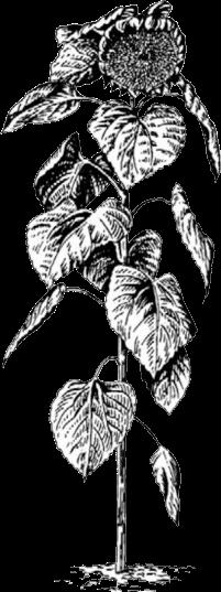 семена подсолнечника дамаск